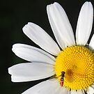 small bee on daisy by SusieG