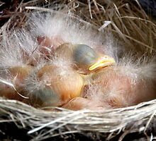 Baby Robins 2 by Debbie Pinard