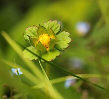 Budding wild strawberry by bared