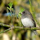Spring Beginnings (Dark-eyed Junco) by Robert Miesner