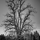 Tree near Nine mile falls by xavi8921