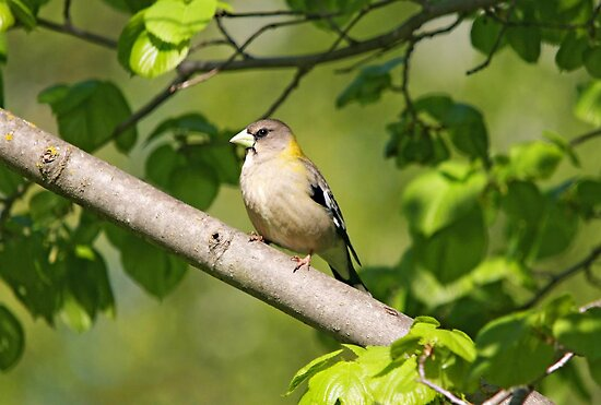 Evening Grosbeak (Female) by Vickie Emms
