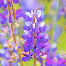 an explosion of lupines... by Allan  Erickson