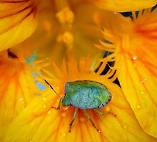Stink-Bug by Ann  Palframan