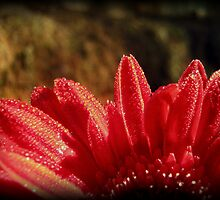Golden Dew Drops of Gerbera by Vanessa Barklay