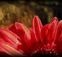 Golden Dew Drops of Gerbera by Vanessa Barklay