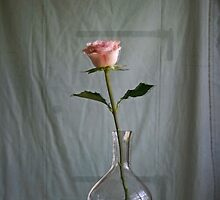 Offer...... a rose by Brenda Dow