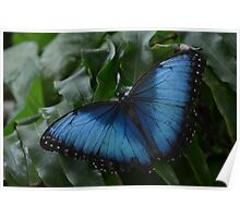 Blue Morpho Butterfly on Fernleaf Poster