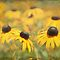 Black-eyed Susan Riot by Linda Trine