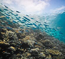 Fusiliers dashing along the reef - Maldives by shellfish