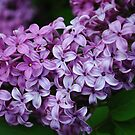 Lilac Beauty by goddarb