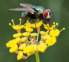 Fly on Fennel by Roy Griffiths