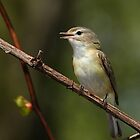 Warbling Vireo by Bill McMullen