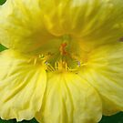 Yellow Nasturtium by Betty Mackey