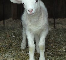 Newborn Lamb by Colleen Drew