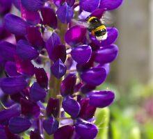 Purple Lupin by Steve plowman