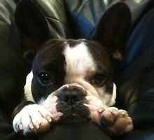 French Bulldog Murfy  by walkabout5