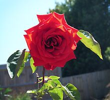 Sunshine Rose by Kat Wigley