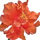 Orange Hibiscus - Close-Up by Glenn Cecero