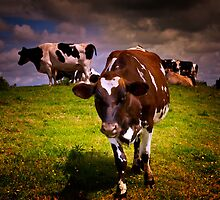 Hill Cows by ajgosling