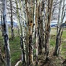 Birch of Many Colors by Kay Kempton Raade