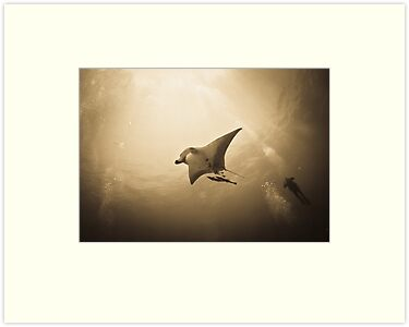 Soaring Manta with remora in the sun by shellfish