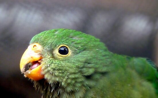 The King's Baby - Baby King Parrot - Gore Southland by AndreaEL