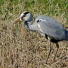 Grey Heron by Sanne Hoekstra