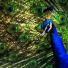 18 Eyes on a Peacock by Wayne King
