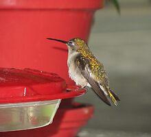 Female ruby throat hummingbird taking a break by Samohsong