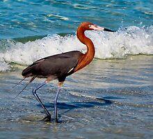 Adult Reddish Egret by Frank Bibbins