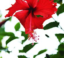 Red Hibiscus Flower by SCDigitalPhoto