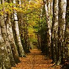 avenue of birch trees by marttherev