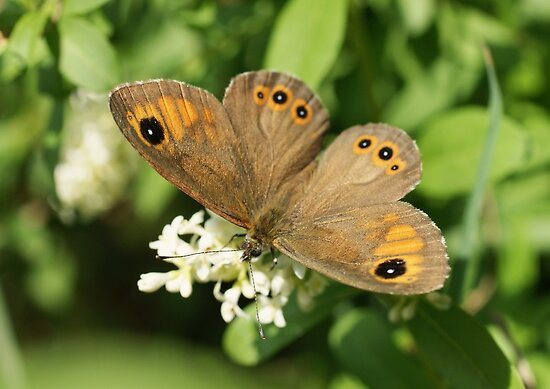 Large Wall Brown by marens