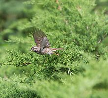 Song Sparrow Inflight by Henry L. Sampson