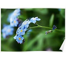 Forget-Me-Not from my summer house Poster