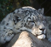 Snow Leopard Nap by Randall Ingalls