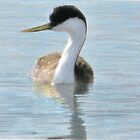 Western Grebe by bluerabbit