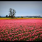 Rows of Pink by AngieBanta
