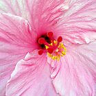 Hibiscus by Judy Wanamaker