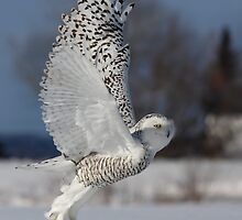Snowy Owl II by MIRCEA COSTINA