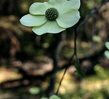 Dogwood by Harry Snowden