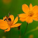 Honey Bee on Yellow Flower by Mukesh Srivastava