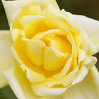 Eternal Flame Hybrid Tea by Robert Armendariz