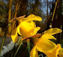 daffodils by katiebm