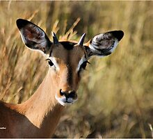 """Pen-kop"" - impala ram (Aepyceros melampus) - Kruger park South Africa by Sandy Beaton"