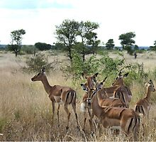 """Awesome Ewes"" - impala females - Kruger nat Park South Africa by Sandy Beaton"