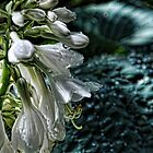 Flowers-white cascade morning drop by Tom Davidson
