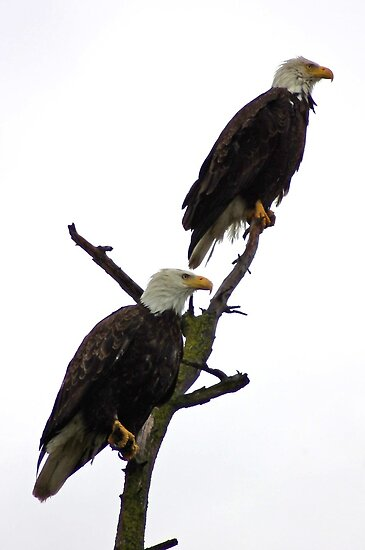 bald eagle pair in the rain by dedmanshootn