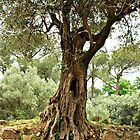 Olive Trees of Italy by Deborah Downes